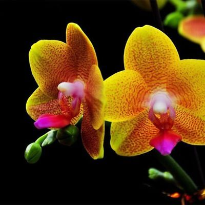 AU5.35 • Buy Hot Rare Seeds Orchid Golden Phalaenopsis Plants Home Gardening Planting Potted