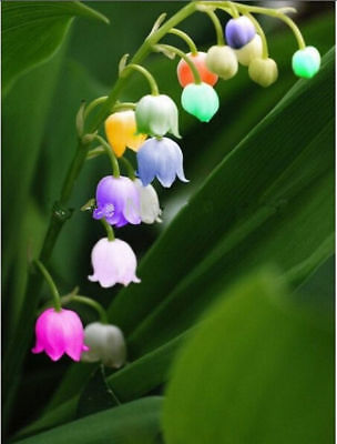 AU4.07 • Buy Bell Orchid Seeds Campanula Flowers Flower Plants Convallaria Seed 100 Seeds