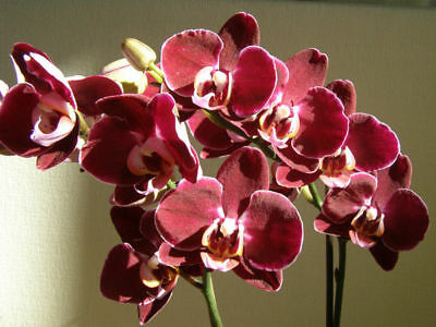 AU3.53 • Buy Red Orchid Phalaenopsis 100 Seeds Fragrant Flower House Garden Plant Big Bloom