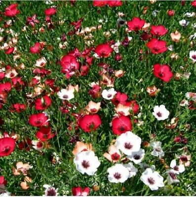 AU3.53 • Buy 50PCs Linum Flower Seeds Himalayan Orchid Home Garden Planting DIY Summer Yard
