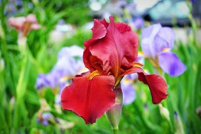 AU4.13 • Buy 50PCS Hot Red Iris Orchid Seeds Beautiful Perennial Flower Home Garden Summer