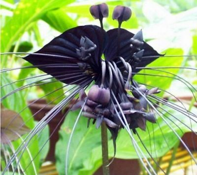 AU3.96 • Buy Black Cat Orchid 10PCs Seeds Tiger Flowers Garden Bloom Plant Free Shipping USA