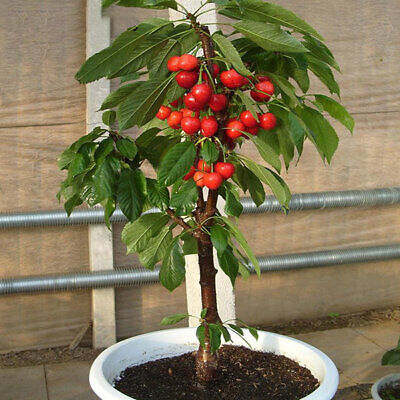 Dwarf ANGELA Small Cherry Tree For Patio Container Sweet Fruits 3 SEEDS UK EU • 8.99£