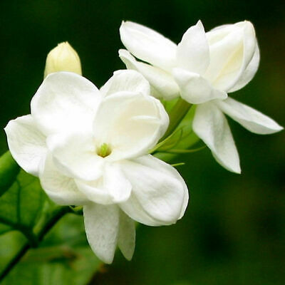 $0.74 • Buy 20pcs Beautiful Arabian Jasmine Sambac White Shrub Flower Seeds Decoration J1Q2