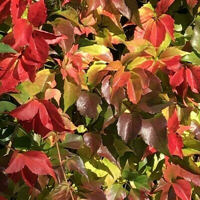 £25.99 • Buy BICOLOUR GOLD AND RED Virginia Creeper (Approx 1 Foot) Boston Ivy Garden Plant
