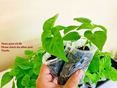 🌶Naga Chilli Plant, Healthy And Well Rooted, TWO Plants, Ready By 20th March • 4.99£