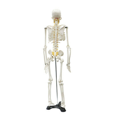 $46.99 • Buy Life Size Medical Anatomical Human Skeleton Model With Rolling Stand 85cm/33.46