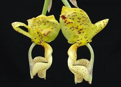 AU39 • Buy Species Orchid - Stanhopea Deltoidea