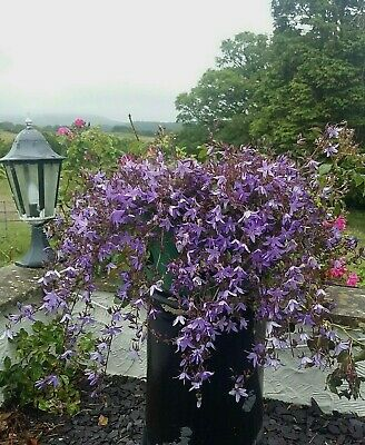 £2.99 • Buy One Campanula Poscharskyana Perennial Sent Bare Rooted