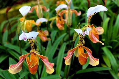 AU9.30 • Buy 50Pcs Lady Slipper Orchid Seeds Rare Beautiful Bonsai Plants In Home Garden