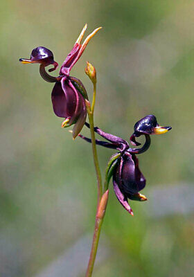 AU8.79 • Buy 50pcs Flying Duck Orchid (Caleana Major) Flower Seeds Plant Seed