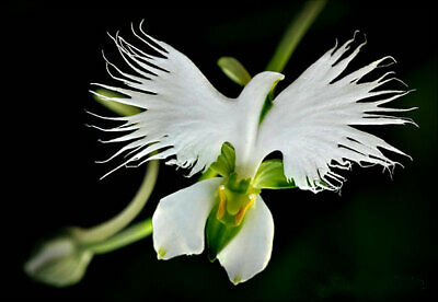 AU9.30 • Buy 50pcs White Egret Orchid (Habenaria Radiata) Flower Seeds