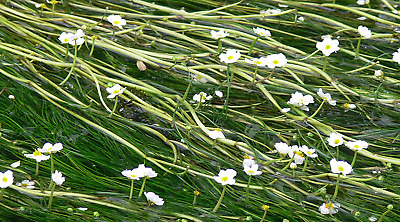 Oxygenating Aquatic Plant White Flowers Great For Fish Tanks And Ponds • 8.99£