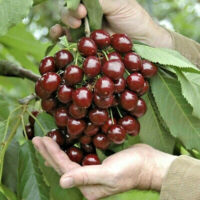 STELLA Dwarf Cherry ORGANIC SEEDS Fruit Tree For Patios And Pots 3 UK EU SEEDS • 9.99£