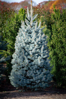 BLUE SPRUCE / XMAS TREE (Picea Pungens Glauca) - CELL GROWN EVERGREEN • 9.95£