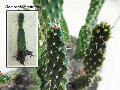Opuntia Ficus Indica Prickly Pear Cactus Succulent One Young Rooted Pad Cutting  • 5.99£