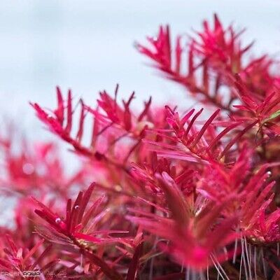 AU16.95 • Buy SPECIAL!! FREE EXPRESS POST Gorgeous Red Rotala Colorata  - Live Aquarium Plant