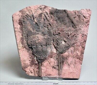Very Large Crinoid Fossil In Natural Matrix. 2465 • 85£
