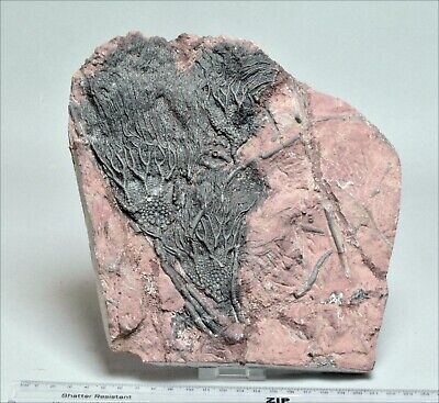 Large Crinoid Fossil In Natural Matrix. 410 Million Years Old. 2397 • 85£