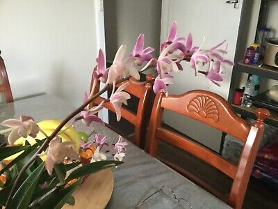 AU12 • Buy Species Dendrobium Orchids X Delicatum Pink Back