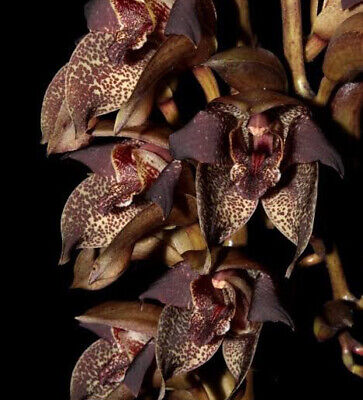 AU15 • Buy Species Orchid - Grammatophyllum Stapeliflorum