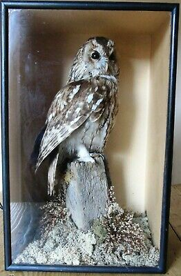 Antique Taxidermy Stuffed Tawny Owl In Naturalistic Setting Victorian  • 175£