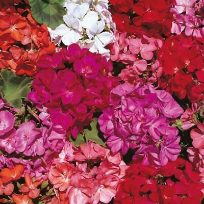 New Pack Kings Seed Geranium 'Country Garden Mix' Flower Seeds (30 Seeds) • 2.10£