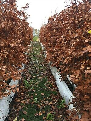 Pre Grown Instant Green BeechFagus Sylvatica Hedges In 1 Metre Trough 6ft Tall • 90£