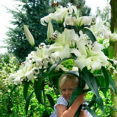 Tower / Skyscraper Lily 'Pretty Woman' WPC Prins Bulbs & Tubers Pack X3  • 6.99£