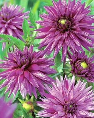 Special Cactus Dahlia 'Striped Ambition' W.P.C. Prins Quality Bulbs & Tubers • 3.99£