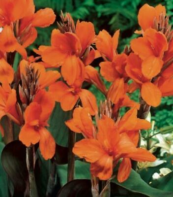 Canna Lily 'Wyoming' WPC Prins Quality Bulbs/Tubers Pack X1  • 3.75£