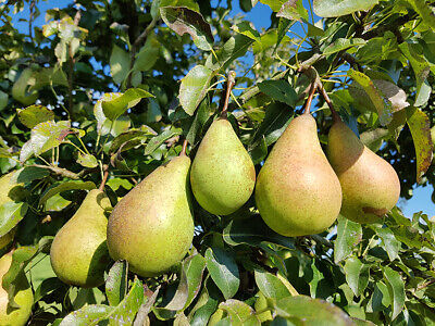 £5.95 • Buy 1x WILD PEAR Tree (Pyrus Communis) CELL GROWN NATIVE EDIBLE, HARDY, FAST GROWING