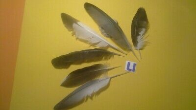$6 • Buy 6-x Mixed Feathers Of An Eagle, Magpie, Wild Rock Dove And Etc. 13-16 Cm Long
