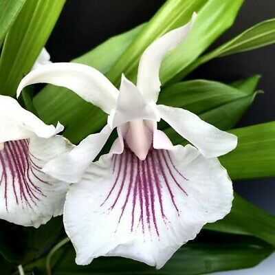 AU23 • Buy Species Orchid - Cochleanthes Amazonica