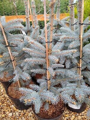Picea  'fat Albert' Blue Spruce Tree 70 Cm 7.5 Lt Pot Evergreen Christmas Tree • 39.99£