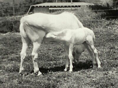 $17.50 • Buy (AmF) FOUND Photo Photograph 2 White Horses Mother Colt All White Majestic