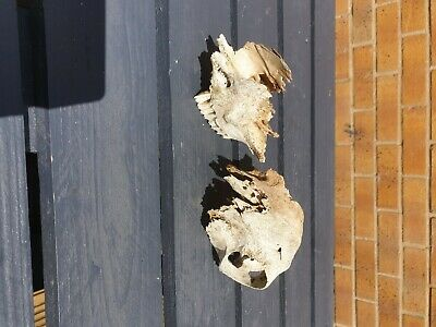 £10 • Buy Animal Skull. Very Old And Weathered. Probably Sheep Skull