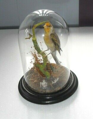 £149.99 • Buy Antique Victorian Taxidermy Goldfinch Canary Mule Cross Bird In Glass Dome