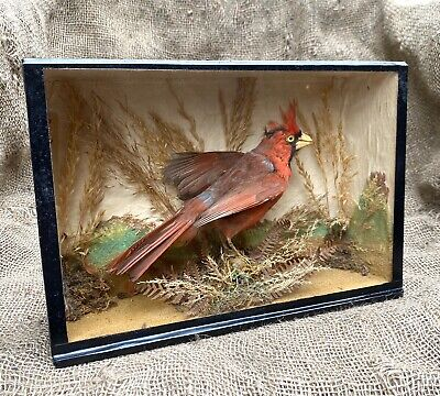 £185 • Buy Victorian Taxidermy Study Of A Northern Red Cardinal By Arthur. S. Covington