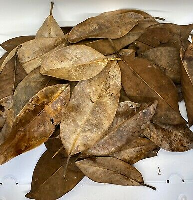 $6 • Buy Dried Magnolia Leaves (One Gallon 100% Compostable Bag) (approx 50 - 70 Leaves)