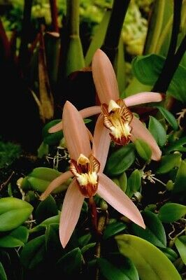 AU18 • Buy Species Orchid - Coelogne Velutina (Salmon Pink Form)
