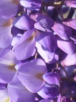 £3.99 • Buy 10 PURPLE CHINESE WISTERIA SEEDS - Wisteria Sinensis