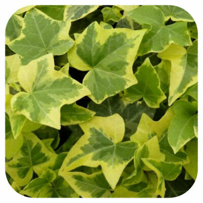 £6.75 • Buy Hedera Golden Child Trailing Ivy 6X ROOTED PLUG CUTTINGS Climbing Plant ORGANIC