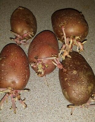 £5.50 • Buy Red Potato Finest Quality Potato Seeds, Bulbs 5 PCS Ready For Planting.