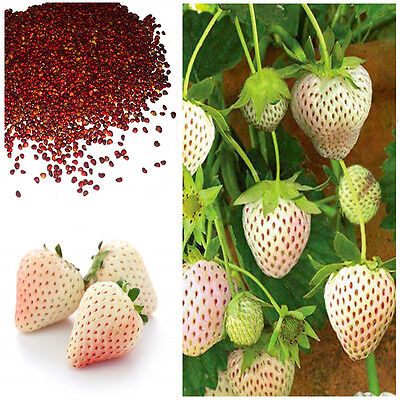 White Alpine Strawberry Fragaria Vesca Pineberry, Sweet Pinapple Flavour Seeds • 0.99£