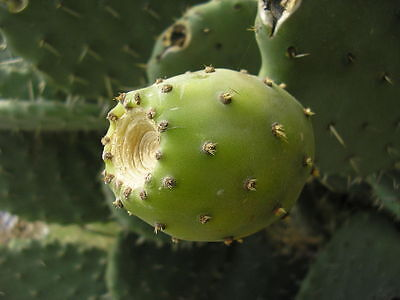 100+ FRESH Prickly Pear / Opuntia Ficus Indica Seeds White Variety • 2.82£