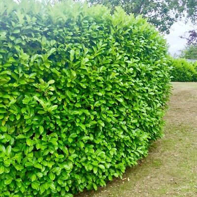 50 Cherry Laurel Evergreen Hedging Plants 20-40cm Potted Not Bare Root Shrubs • 99.95£