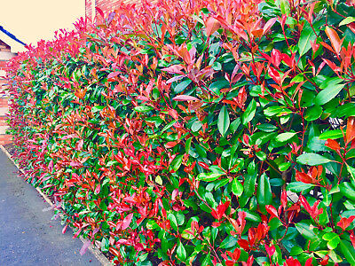 £27.95 • Buy 10 Photinia Red Robin Hedging 25-30cm Evergreen Shrub Supplied Potted Not Plugs