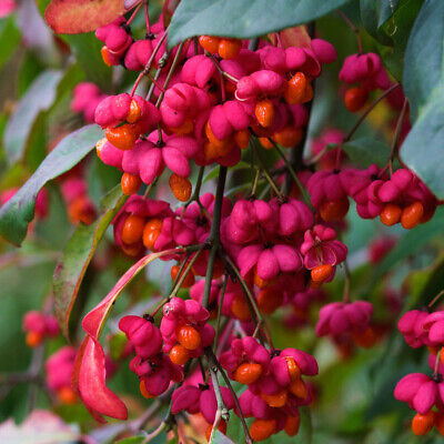 £9.94 • Buy Euonymus Europaeus Red Cascade-Spindle Tree Plant In  3.5  Pot
