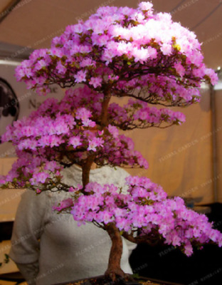 5 Seeds -Bonsai Tree Japanese Sakura Plant Rare Japanese Cherry Blossoms Flower • 2.69£